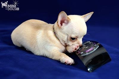 Зуд у собак: демодекоз и саркоптоз