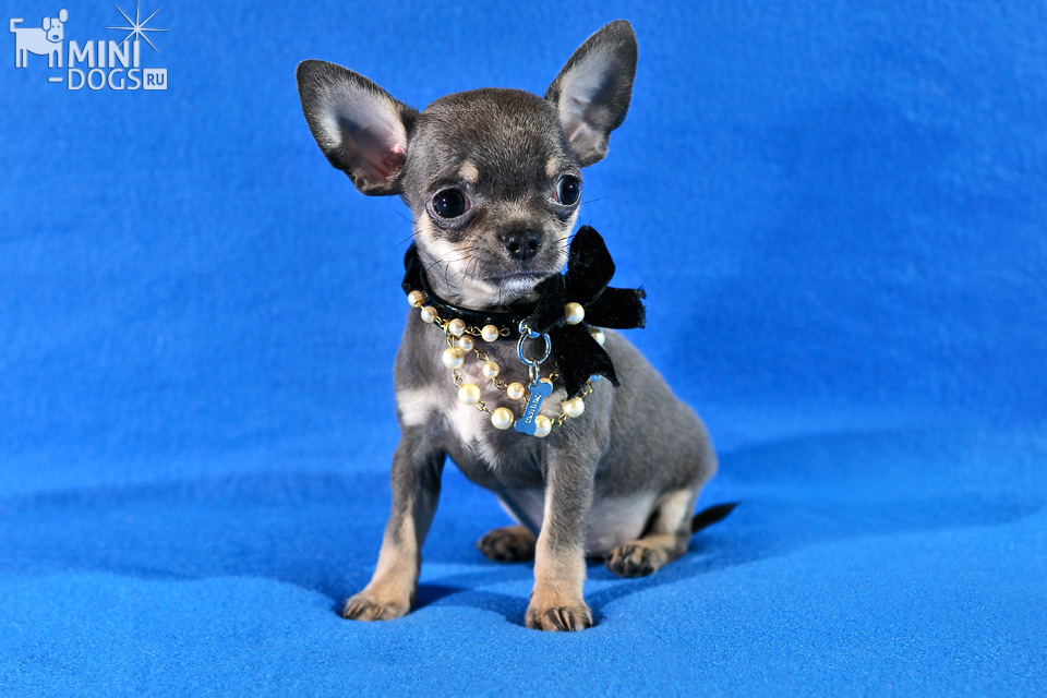 The gallery for --> Long Haired Chihuahua Mix Puppy