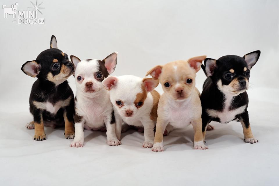 фото чихуахуа щенка