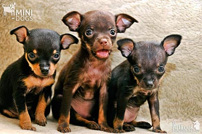Exciting trio of toy terriers