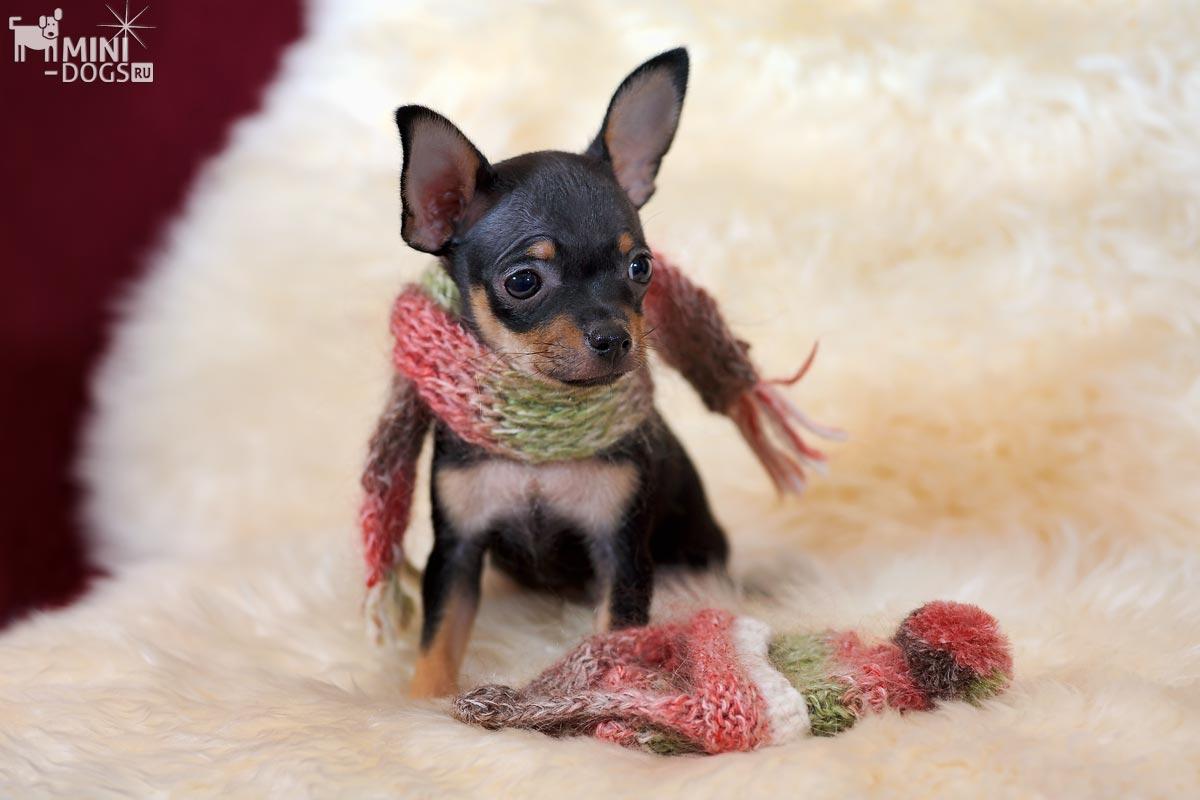 Болезни маленьких собак. Ветклиники Москвы.
