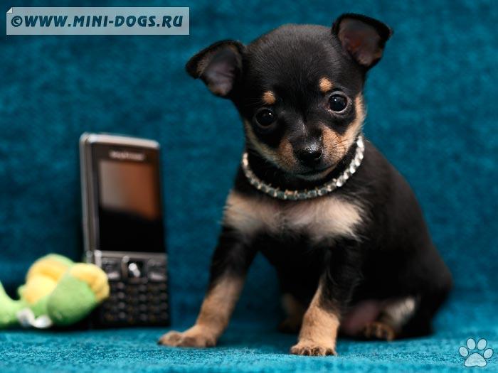 карманная собачка фото и цена