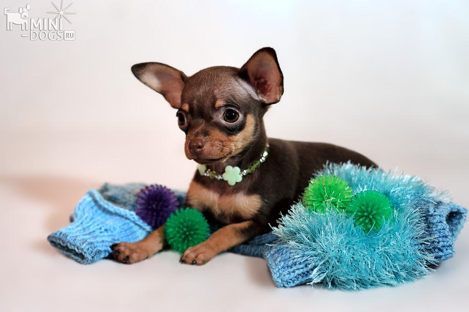Мини собачки фото и породы