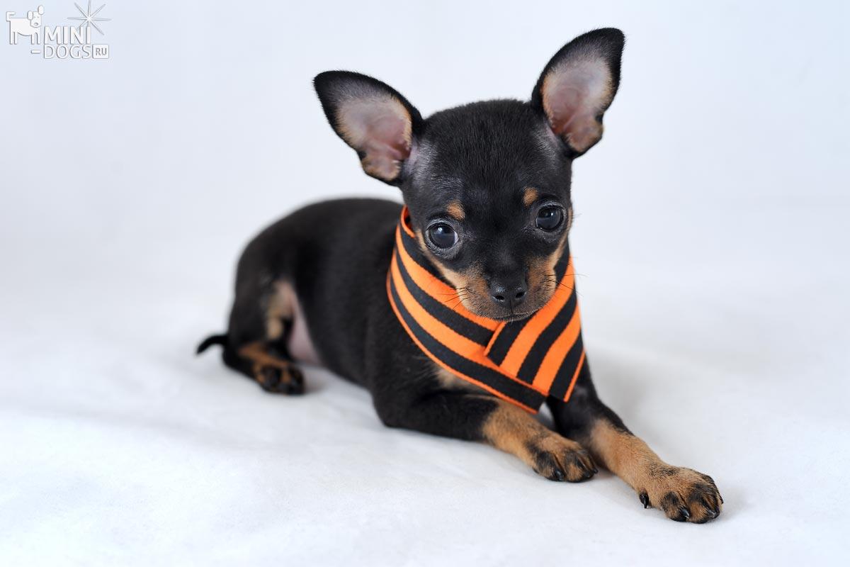 породы собак мини с фото