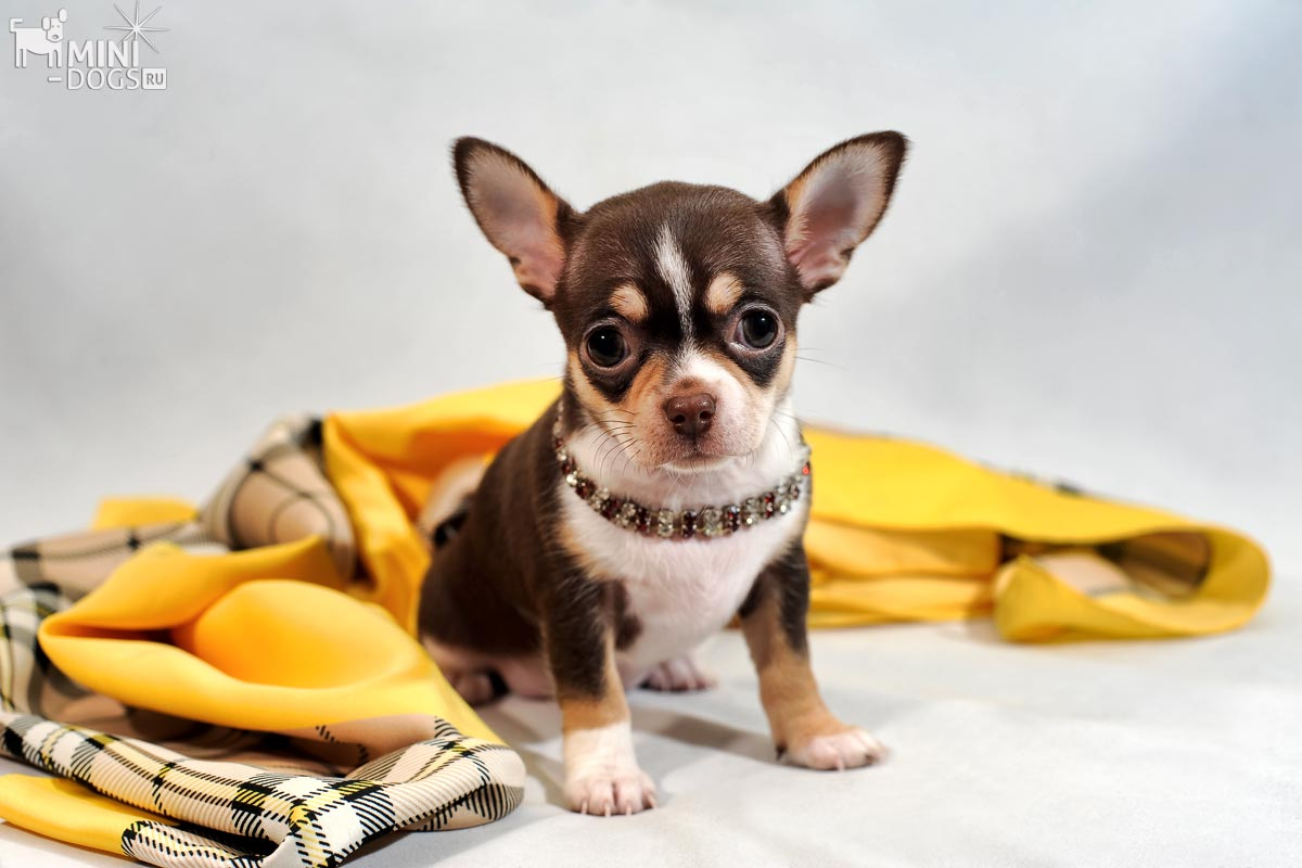 Chihuahua puppy with scarf