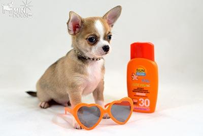 Рыжий щенок чихуахуа и крем для загара