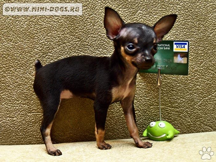 маленькая ручная собачка