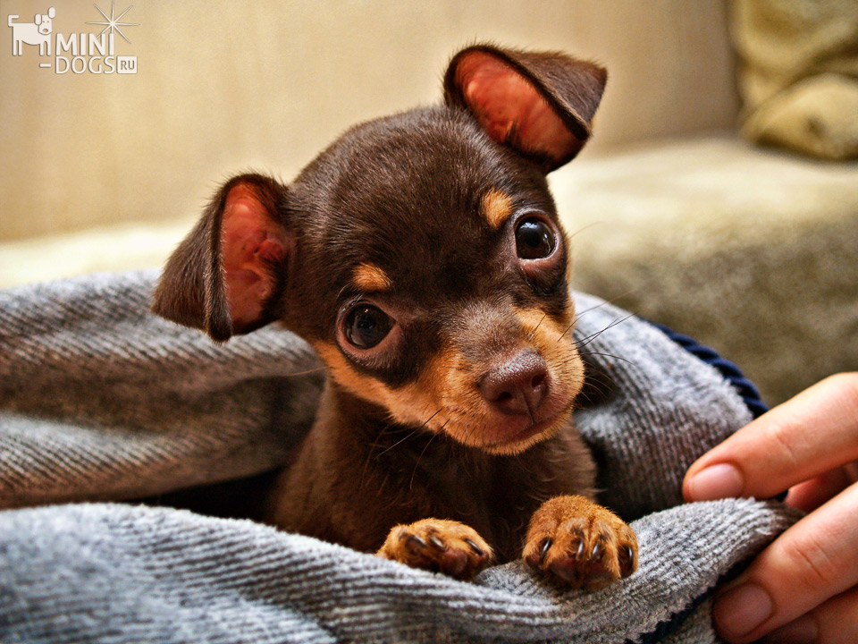 Russkiy Toy puppy (Russian toy terrier)