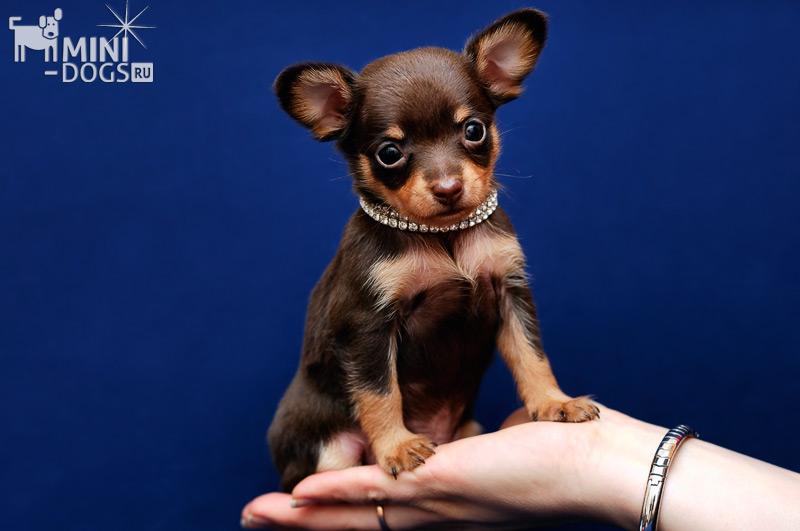 самая маленькая комнатная собака